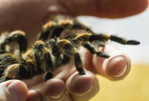 Norah is one of the oldest tarantulas that call the Bug Zoo home, she is 21 years old!